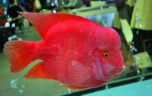 在香港最受欢迎的宠物鱼,第一你猜不到