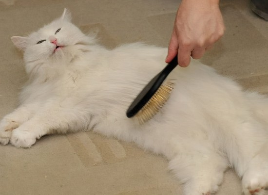 Why do cats shed hair